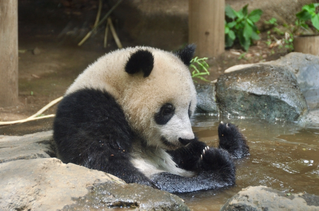 水遊びをするパンダ